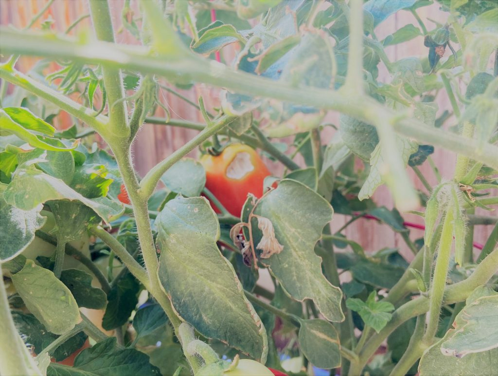 Gardening is therapeutic image showing damage to tomatoes