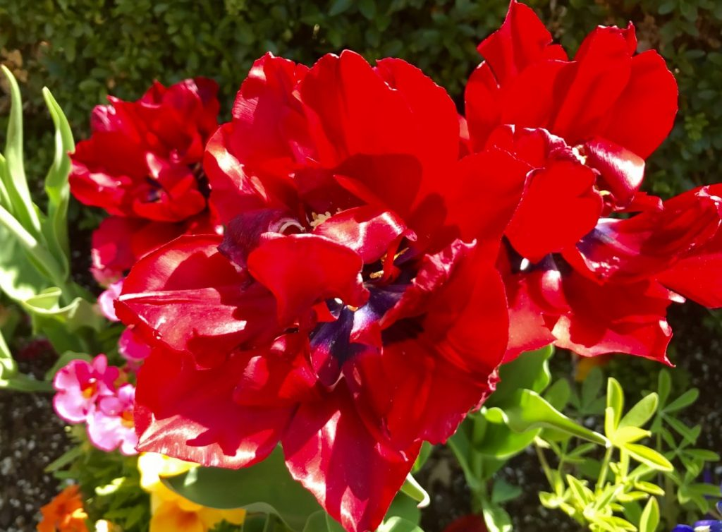 Photo of red flowers showing color psychology and design insprired by nature