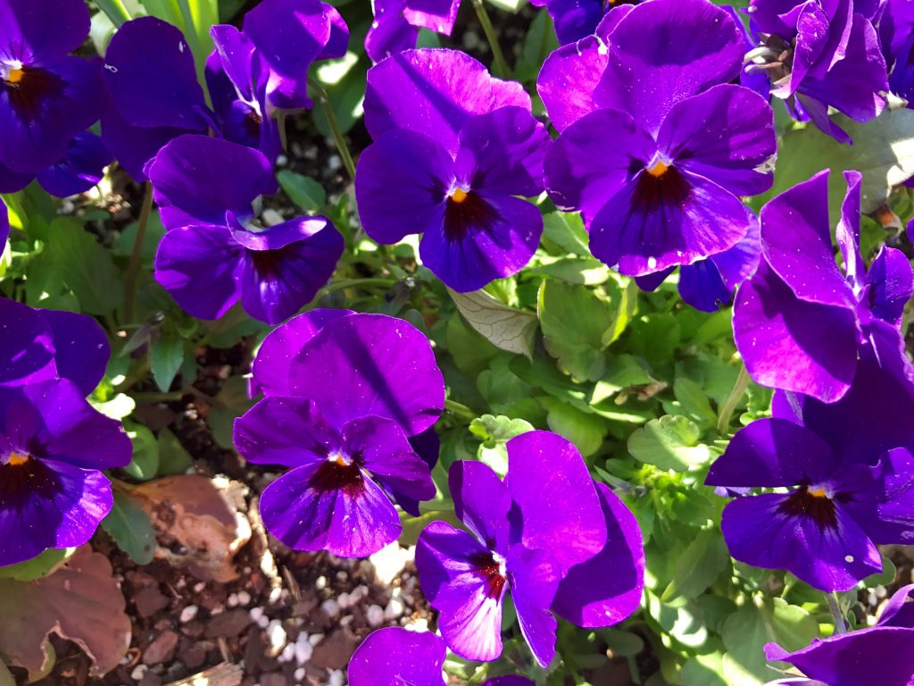 Photo of purple pansies showing color psychology and design inspired by nature