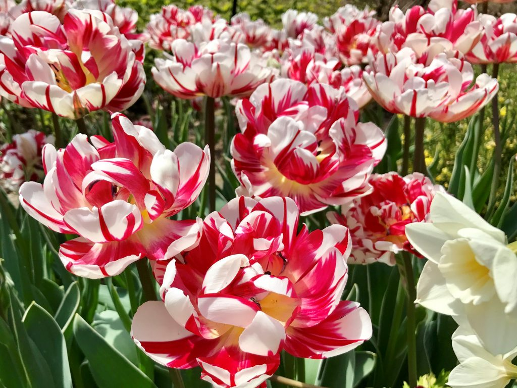 Photo of red and white flowers showing color psychology and design inspired by nature