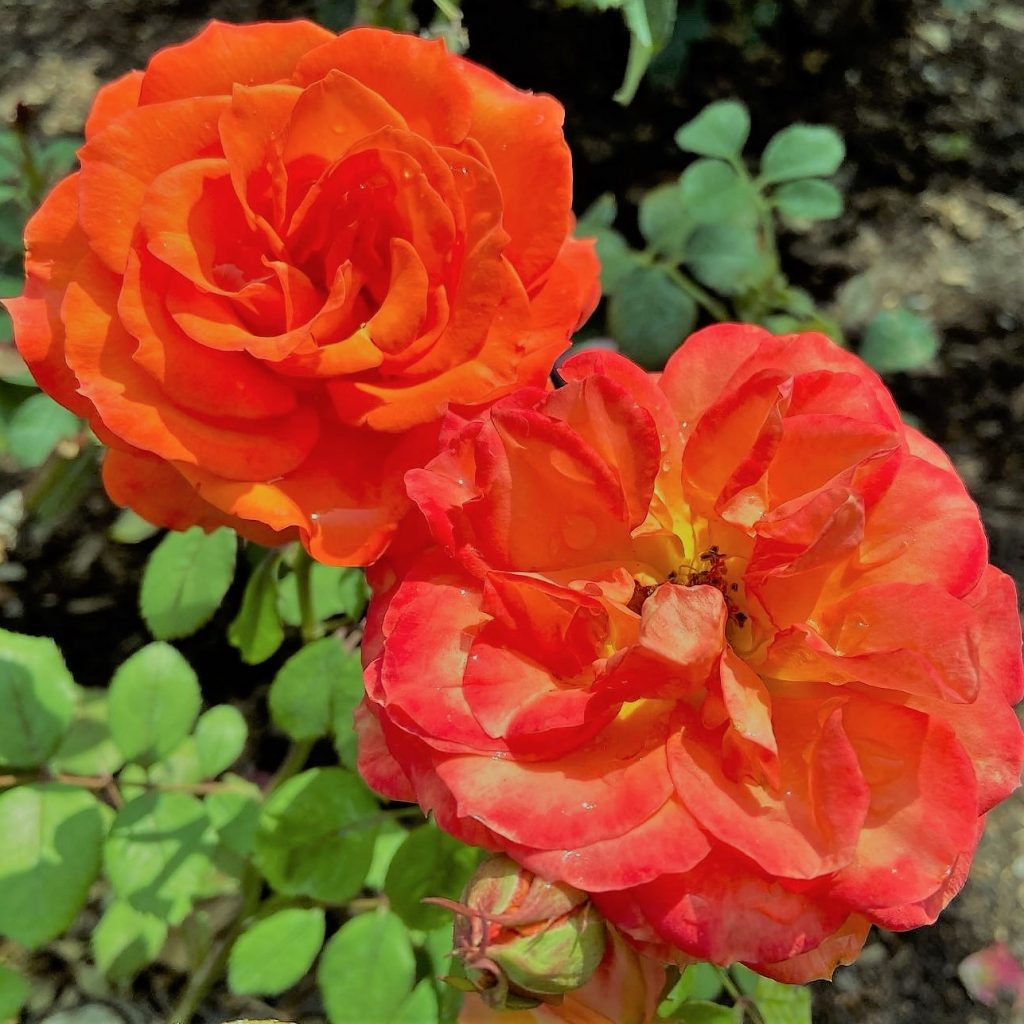 Photo of orange roses showing color psychology and design inspired by nature