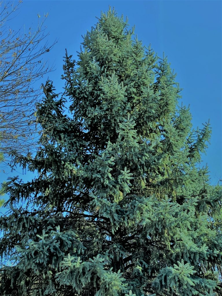 Photo of a blue spruce supporting the argument for urban landscaping