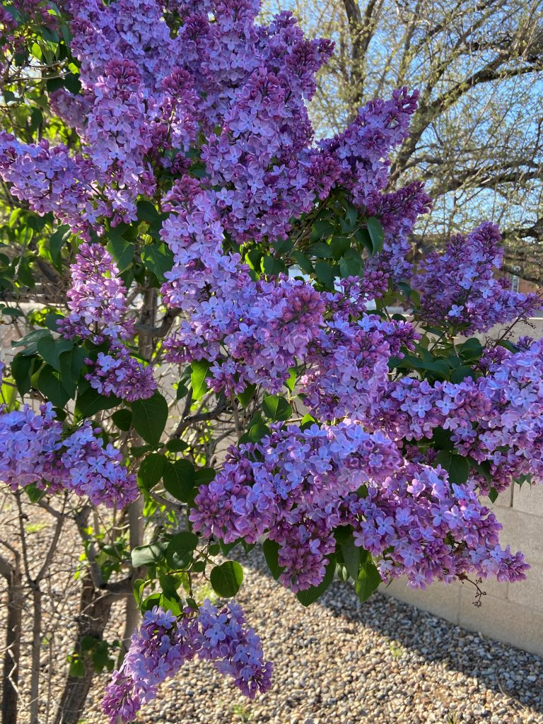Photo of lilac bush showing how to smell your way to better health.
